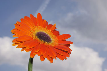 Bild mit Himmel, Blumen, Gerberas, Blume, Gerbera, Blüten, blüte, nahaufnahme