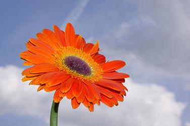 Bild mit Pflanzen, Himmel, Blumen, Gerberas, Blume, Pflanze, Gerbera, Blüten, blüte