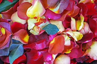 blütenblätter von rosen