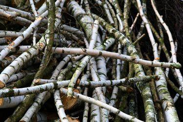 Bild mit Natur, Bäume, Holz, Birken, Baum, Birke, Holzstruktur, Wurzeln, Wurzel