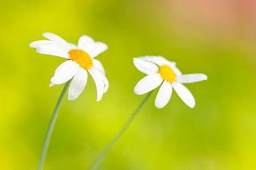 Bild mit Blumen, Blume, Margeriten, Margerite, Wildblumen, wildblume
