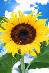 Bild mit Farben,Gelb,Gegenstände,Natur,Pflanzen,Lebensmittel,Essen,Blumen,Korbblütler,Sonnenblumen,Blume,Flower,Flowers,Sonnenblume,Sunflower,Sunflowers,Helianthus annuus,Helianthus,Asteraceae
