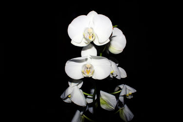 Orchideen Black Series 8
