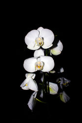 Orchideen Black Series 9