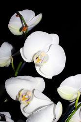 Orchideen Black Series 10