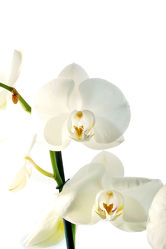 White Orchideen serie 8