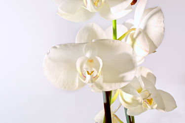White Orchideen serie 9