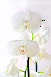 White Orchideen serie 10