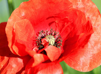 Bild mit Natur, Blumen, Mohn, Blume, Pflanze, Mohnblume, Poppy, Klatschmohn, Makro