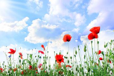 Bild mit Natur, Himmel, Blumen, Mohn, Blume, Mohnblume, Poppy, Poppies, Klatschmohn, Feld, Mohnblumen