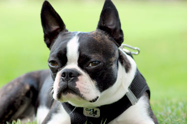 Der Blick Boston Terrier