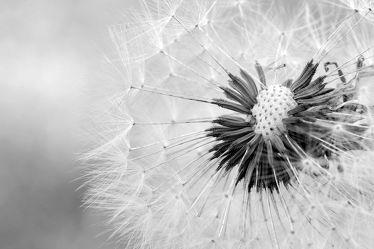 Bild mit Natur, Pflanzen, Blumen, Sommer, Blume, Pflanze, Makro, Wiese, Löwenzahn, Pusteblume, wiesenblumen, Pusteblumen, garten, nahaufnahme, Wiesen, schwarz weiß, SW, wiesenblume, nahaufnahmen, Magisch
