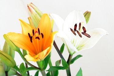 Bild mit Pflanzen, Blumen, Blume, Pflanze, Flower, Lilie, Lilien, liliengewächse, Blüten, blüte, liliaceae, Lilium, Lilieae