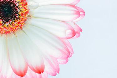 Bild mit Wasser, Blumen, Gerberas, Blume, Pflanze, Makro, Gerbera, Wassertropfen, Regentropfen, Wasserperlen, Waterdrop, Tropfen, blüte, nahaufnahme, Regen, drop, raindrop