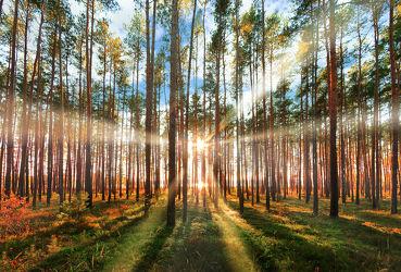 Bild mit Natur, Bäume, Nadelbäume, Wälder, Herbst, Wald, Baum, Nadelbaum, Landschaft, Nadelwald, Gegenlicht, Jahreszeit, autumn