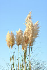 Bild mit Natur, Pflanze, Gras, Pampasgras, Cortaderia selloana, Süßgräser, Poaceae, Pampas Gras