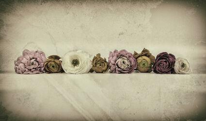 Bild mit Blumen, Blume, Pflanze, Makro, Ranunkeln, VINTAGE, blüte, Hahnenfuß, Ranunkel, Ranunculus asiaticus, old style
