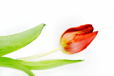 Bild mit Blume, Pflanze, Tulpe, Tulips, Tulpen, Tulipa, Tulip, rote Tulpe, red tulip