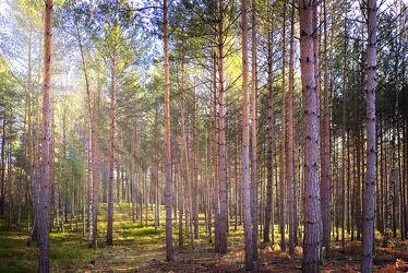 Bild mit Natur, Bäume, Wälder, Wald, Nadelbaum, Landschaft, Nadelwald, Gegenlicht, mystisch