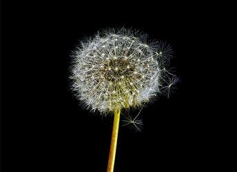 Bild mit Blume, Pflanze, Makro, Flower, Wassertropfen, Regentropfen, Löwenzahn, Pusteblume, Pusteblumen