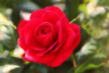 rosenrote Schönheit
