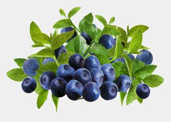 Bild mit Früchte, Beeren, Malerei, Frucht, Obst, Küchenbild, Stillleben, Küchenbilder, KITCHEN, frisch, Küche, Heidelbeeren, Blaubeeren, Blaubeere, Heidelbeere, Kochbild, gemalte Früchte, Beere