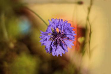 Bild mit Natur,Pflanzen,Blumen,Blume,Pflanze,Flower,Flora,Blüten,Tapete,blüte,fototapete,Kornblume