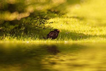 Bild mit Natur, Vögel, Federn, DagmarGiers, Gefieder, Animal, Naturfotografie, Naturfotografie, Fotografie, Umwelt, Enten und Vögel, Amsel, Amselmännchen