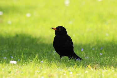 Bild mit Natur, Vögel, Federn, DagmarGiers, Gefieder, Animal, Naturfotografie, Fotografie, Umwelt, Amsel, Amselmännchen