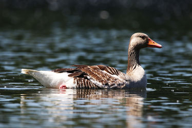 Bild mit Natur, Vögel, Vögel, Entenvögel, Enten, Ente, Gans, Enten und Vögel