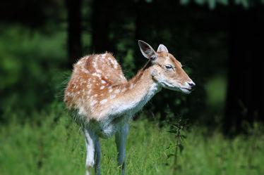 Bild mit Tiere,Natur,Tier,Animal,Tierwelt,Rehe,Reh,Damwild