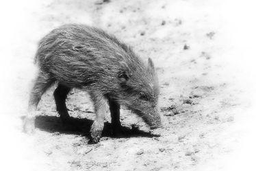 Bild mit Natur,Tier,Ferkel,Wildschwein,DagmarGiers,Animal,Tierwelt,Wildlife,Naturfotografie,Fotografie,Wildschweine,Frischling,Wildtier,schwarz weiß