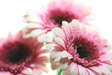 Bild mit Wasser, Blumen, Gerberas, Blume, Gerbera, Wassertropfen, Regentropfen, Tropfen, Blüten, blüte