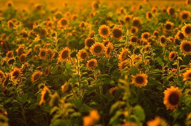 Bild mit Blumen, Sonnenblumen, Blume, Wiese, Sonnenblume, Feld, Felder, Blüten, Wiesen, Sonnenblumenfeld, sonnenblumenfelder
