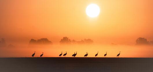 Kraniche in der Morgensonne
