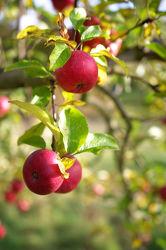 Frischer roter Apfel am Apfelbaum