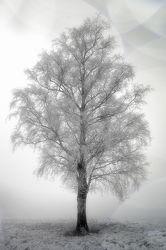 Winter Birke