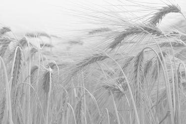 Bild mit Getreide