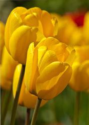 gelbe Tulpen 2