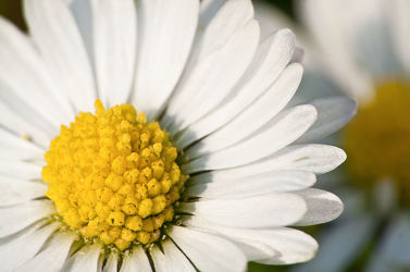Bild mit Pflanzen, Blumen, Blume, Pflanze, Margeriten, Margerite, gänseblümchen