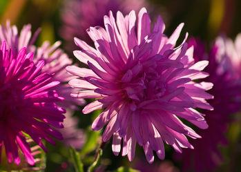 Bild mit Pflanzen, Blumen, Astern, Blume, Pflanze, Blüten, blüte, ASTER