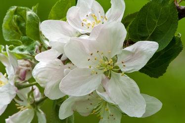Bild mit Pflanzen, Blumen, Baum, Blume, Pflanze, Apfel, Blüten, blüte, Apfelblüte