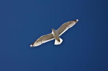 Bild mit Tiere, Himmel, Urlaub, Vögel, Fliegen, Federn, Meer, Tier, Blauer Himmel, Möwe, Küste, Skandinavien, Küstenvogel, Freiheit, meervogel, Seevogel, Flug, küsten, frei, moewe