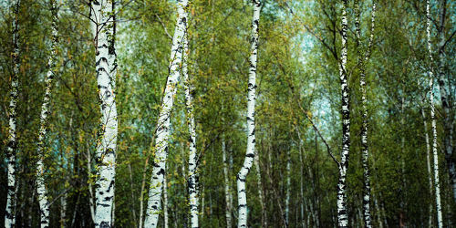 birch forest -light