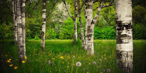 Bild mit Natur, Gräser, Bäume, Wälder, Birken, Wald, Baum, Birke, Gras, Wiese, VINTAGE, Wiesen, Weide, Weiden, birkenbäume, birkenbaum