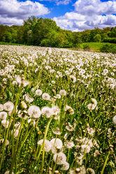Bild mit Natur, Wolken, Blumen, Frühling, Frühling, Sky, Blume, Löwenzahn, Pusteblume, Florales, Pusteblumen, Deko
