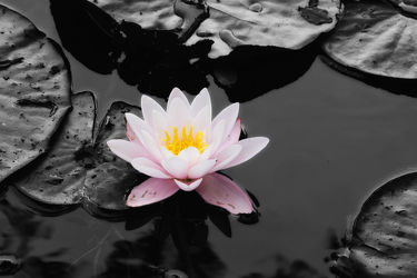 Bild mit Gewässer,Blumen,Rosen,Blume,Rose,See,Teich,seerosen,seerose,Wasserpflanzen,wasserpflanze,Wasserlilie,wasserlilien