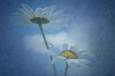 Bild mit Blumen, Blume, Margeriten, Margerite, Blüten, blüte