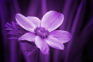 Bild mit Blumen, Lila, Violett, Blume, Blüten, anemonen, blüte, anemone