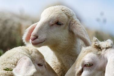 Bild mit Tiere,Tier,Schafe,Weide,Herde,Schaf,niedlich,süß,Lamm,Lämmer